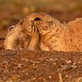 Prairie Dog Tender Sunset Kiss by Max Allen