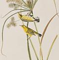 Prairie Warbler by John James Audubon
