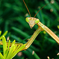 Praying Mantis by George Mattei