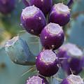 Prickly Pear Fruit  by Saija  Lehtonen