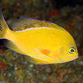 Pseudanthias Fuscipinnis by Dave Fleetham - Printscapes