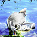 Psychedelic Mute Swan And Cygnet Feeding by Peter Lloyd