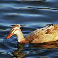 Puffy Headed Duck by Belinda Stucki