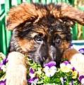 Puppy Oskar by Danielle Sigmon