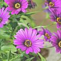Purple Aster Flowers by A Gurmankin