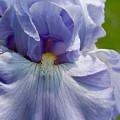 Purple Iris by Lauren  Macko