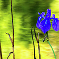 Purple Iris by Tina Hailey
