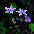Purple Orchids 2 by Michael Peychich