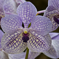 Purple Orchids by Michael Peychich