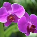 Purple Orchids by Nancy Aurand-Humpf