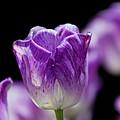 Purple Tulip by Robert Ullmann