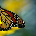Queen Monarch by David Weeks