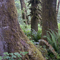Quinault Rain Forest 3152 by Bob Neiman