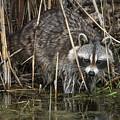 Raccoon Fishing by Susan Grube