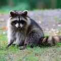 Raccoon  by Songquan Deng