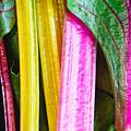 Rainbow Chard by Tom Gowanlock