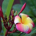 Rainbow Plumeria by Hao Aiken