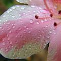 Raindrops On The Azalea Petal by D Hackett