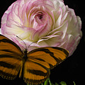 Ranunculus And Butterfly by Garry Gay