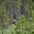 Rare And Wild. Finnish Forest Reindeer by Jouko Lehto