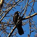Raven by Marilynne Bull