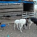 Reality Bites Goats by Fania Simon