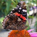 Red Admiral Butterfly by Joanne Young