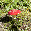 Red And White Potted Toadstool by Ilan Rosen