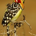 Red And Yellow Barbet by Michele Burgess
