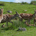 Red Deer Hinds And Calves by Phil Banks