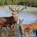 Red Deer In Bushy Park London by Julia Gavin