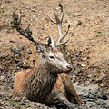 Red Deer Stag Cervus Elaphus Takes A Mudbath To Cool Down On Aut by Matthew Gibson