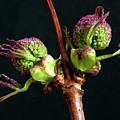 Red Elderberry Flower Buds by Jarmo Honkanen
