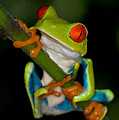 Red-eyed Green Tree Frog Hanging On by Rikk Flohr
