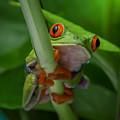 Red Eyed Tree Frog. by Yasar Ugurlu