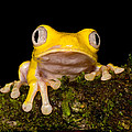 Red-eyed Treefrog, Xanthic Form by Dant� Fenolio