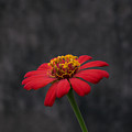 Red Flower 1 by Totto Ponce