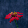 Red Flower 2 by Totto Ponce