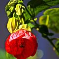 Scarlet Mallow At Pilgrim Place In Claremont-california- by Ruth Hager