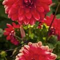 Red Flower Close Up by Enrico Della Pietra