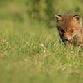Red Fox Cub by Ian Hufton