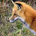 Red Fox On The Hunt by Bill Dodsworth