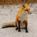 Red Fox 3 by Raymond Salani III