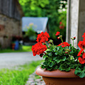 Red Garden Geranium Flowers In Pot , Close Up Shot / Geranium Fl by Maya Afzaal