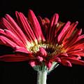 Red Gerbera 1 by Steve Purnell