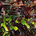 Red Green  Leaves by Rob Hans