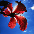Red Hibiscus by Carl Purcell