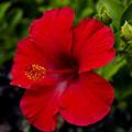 Red Hibiscus - Kauai by Yefim Bam