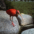 Red Ibis by Carl Purcell