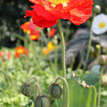 Red Iceland Poppy by Suzanne Gaff